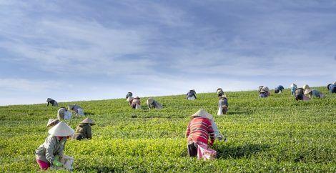 tea workers farm vietnam