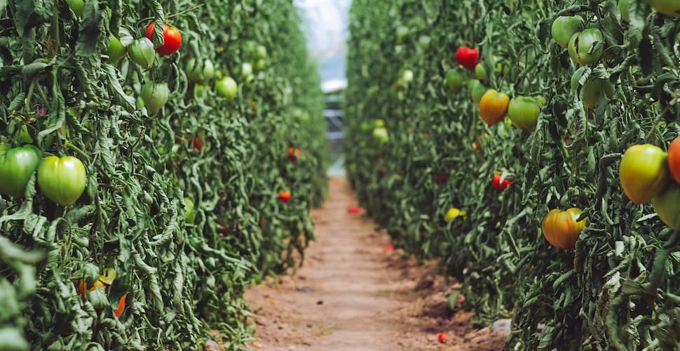 Tomato farm
