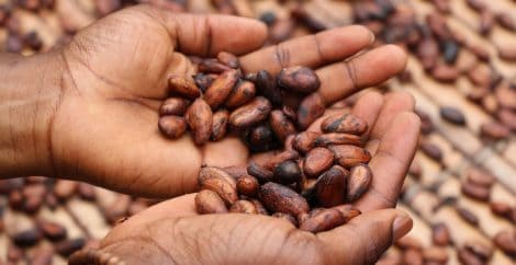 Hands holding cocoa beans